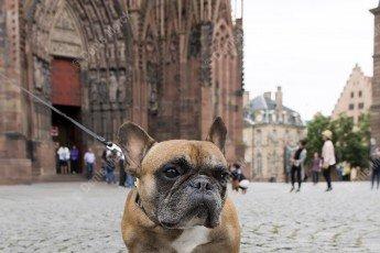 Strasbourg : Bouledogue devant la Cathédrale