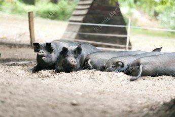 Black pig of Bigorre