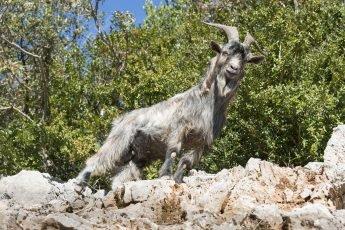 Old wild goat in the Gorges de l'Ardèche