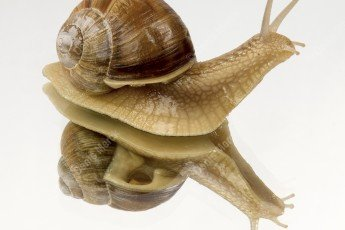 gasteropode