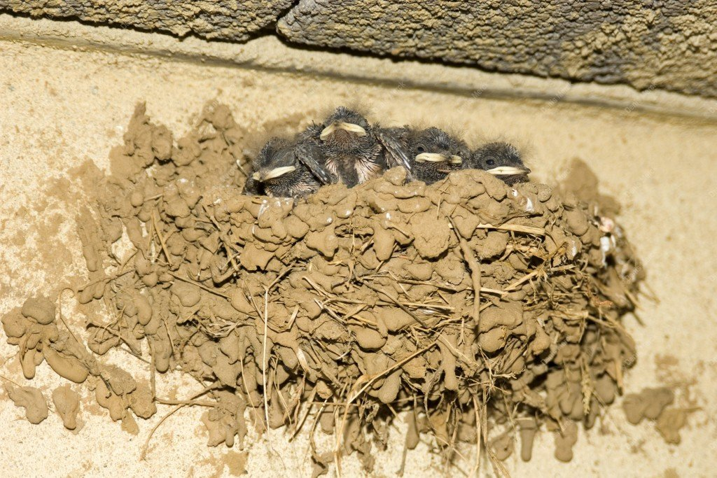 Jeunes hirondelles dans leurs nid