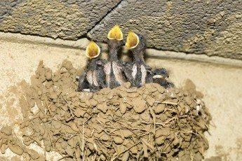 Jeunes hirondelles dans leurs nid attendant la becquée