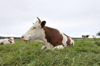 Vache qui rumine