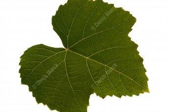 feuille de vigne