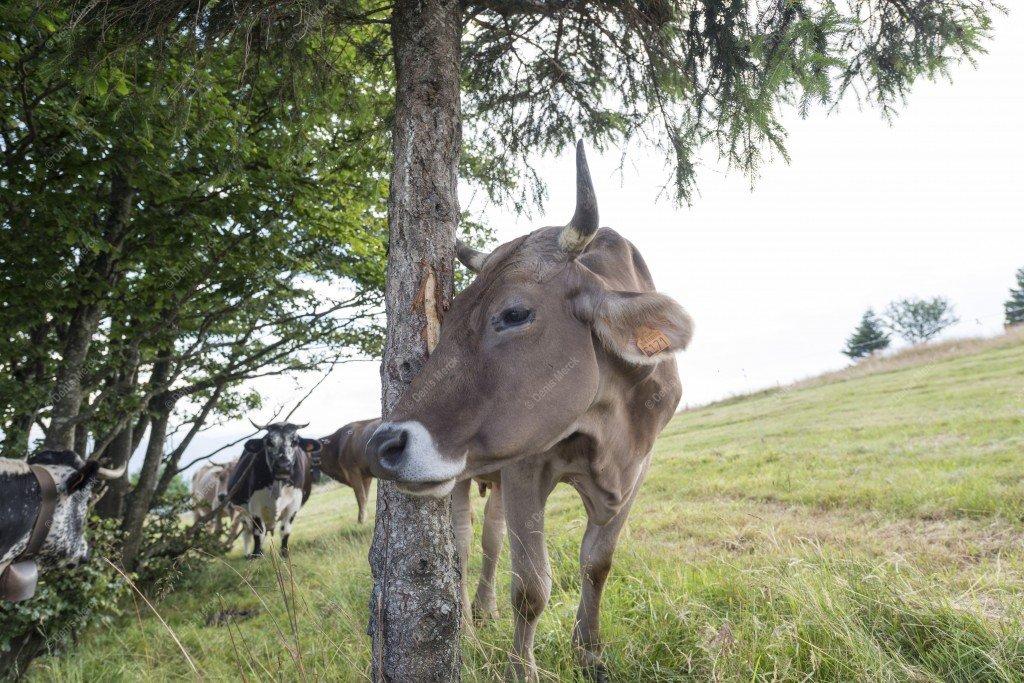 Vache qui se frotte à un tronc d'arbre
