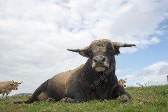 Taureau de race Aubrac dans les Vosges
