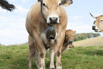 Vache de race Aubrac avec une cloche