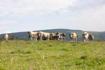 Troupeau de vaches de race Aubrac dans les prés