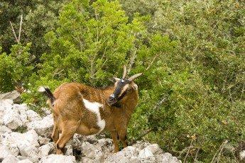 Chèvre sauvage dans les gorges de l'Ardèche
