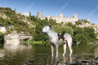 Dogue argentin croisé bulldog américain en Ardèche