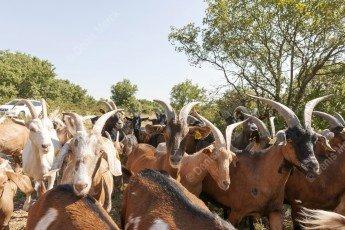 Troupeau de chèvres en Ardèche