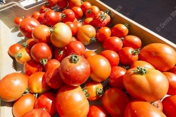 Une cagette de tomates