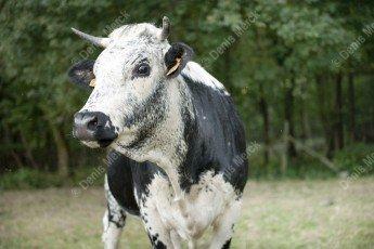 Vache de race Vosgienne
