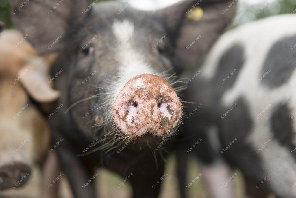 Groin d'un cochon Gascon-Piétrain