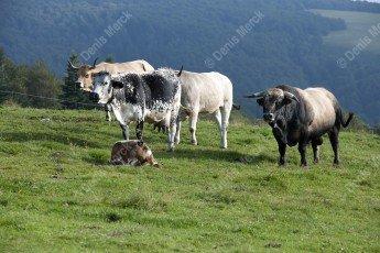 Taureau de race Aubrac avec ses vaches