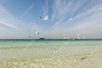 Vol de mouettes à Jumera Beach - Dubai
