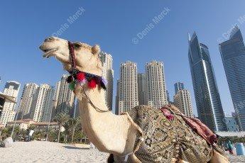Dromadaire sur la plage de Jumera Beach devant les buildings de Dubai