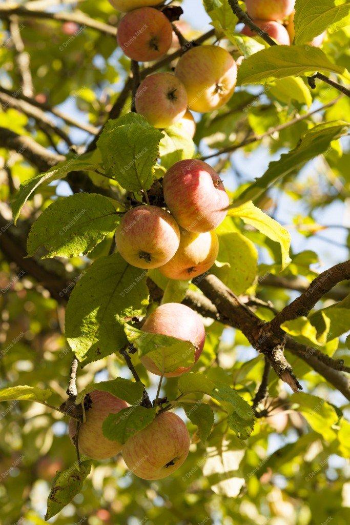 Pommes d'api sur l'arbre