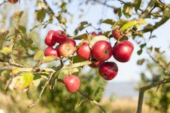 Petites pommes bio sur un arbre à haute tige