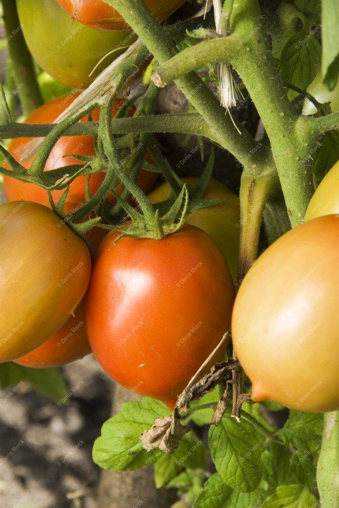 Tomates de variété romaine dans le potager