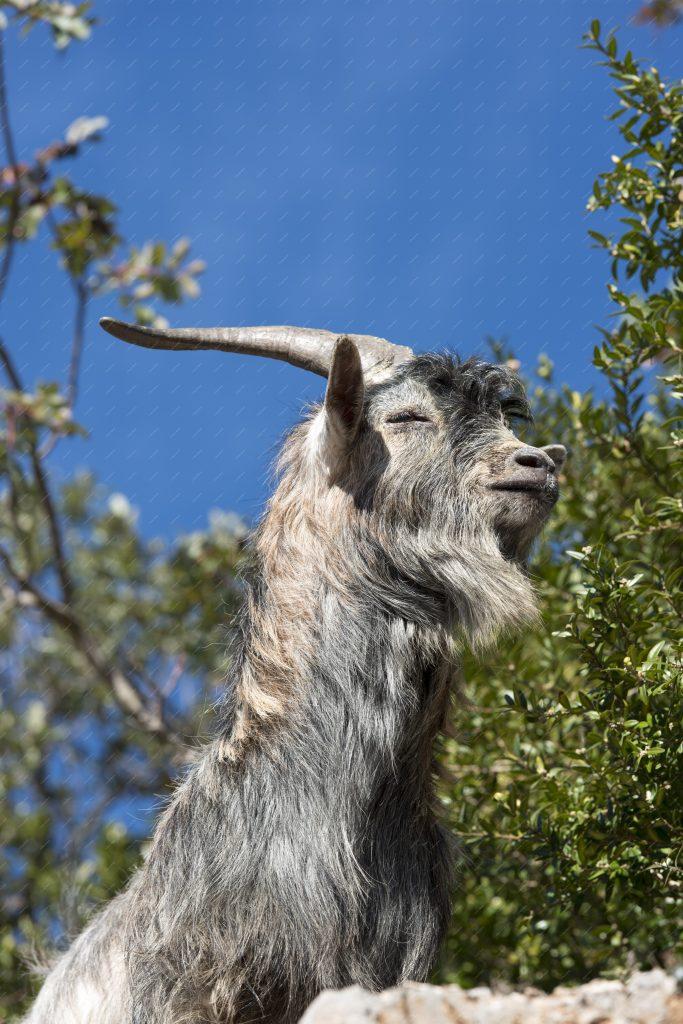 Vieux bouc sauvage dans les Gorges de l'Ardèche