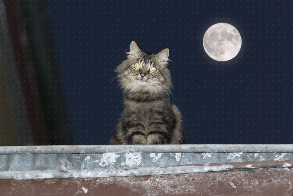 Chat angora sur un toit