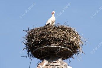 La cigogne nous regarde du sommet de la tour