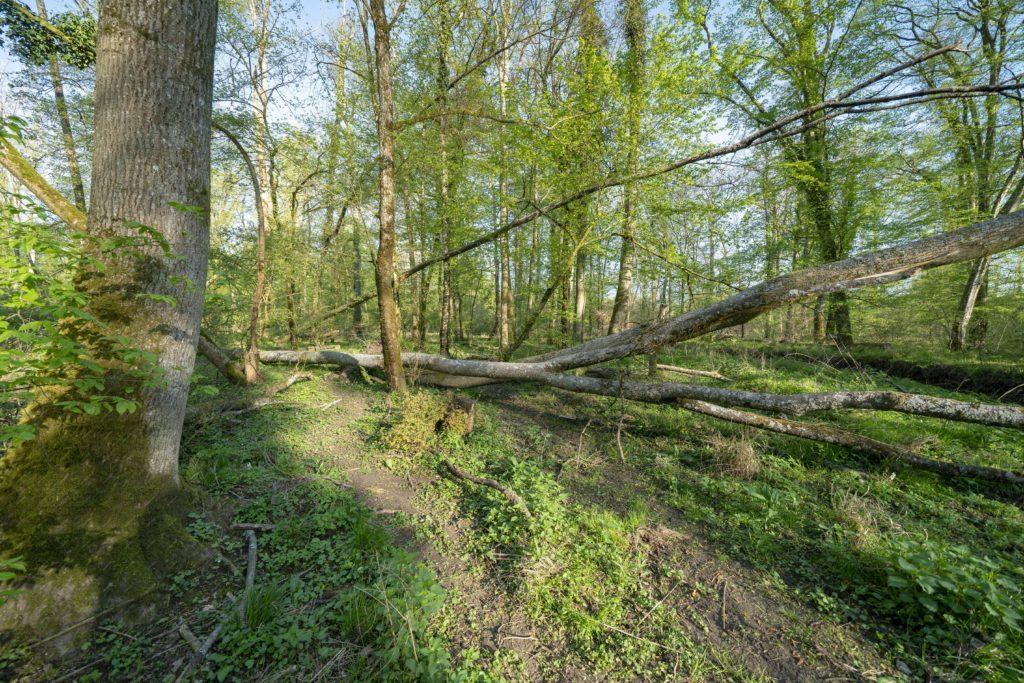 La Forêt de Haguenau