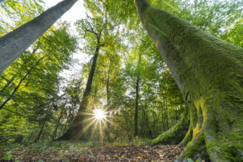 La forêt de Haguenau au lever du soleil