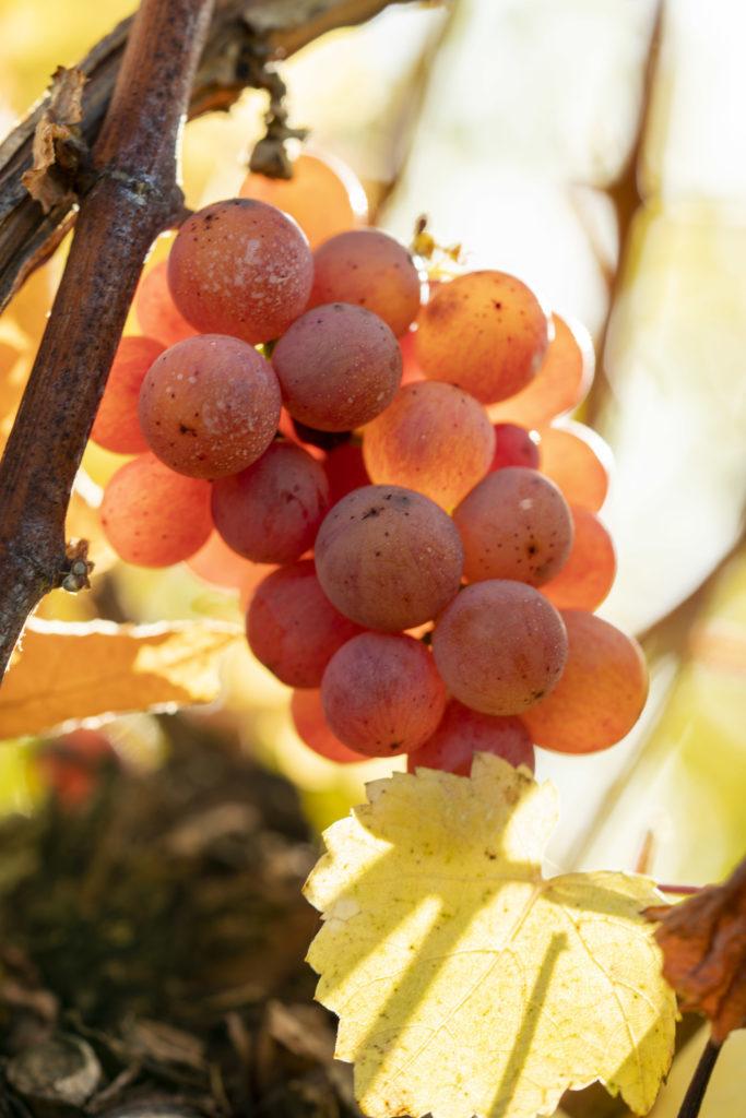 Grappe de raisin en automne